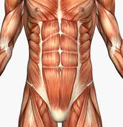 Abdominal muscle anatomy ccuart Images