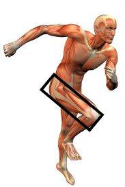 Body building anatomy image