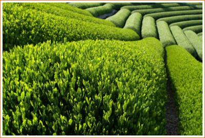 Picture of Green Tea Fields